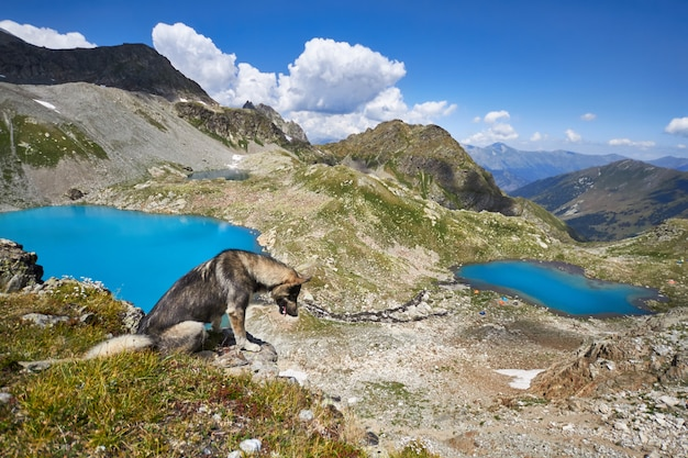 Dog walks in the mountains against the blue of lakes, the caucasus arkhyz Premium Photo