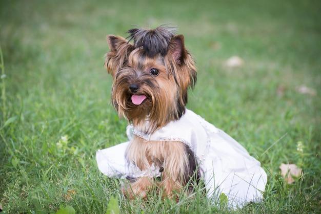 Dog in wedding dress in green grass. Premium Photo