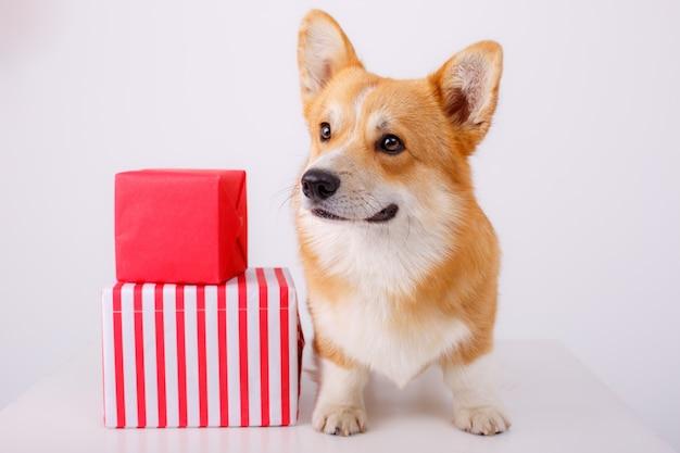 犬のウェルシュコーギーギフト Premium写真