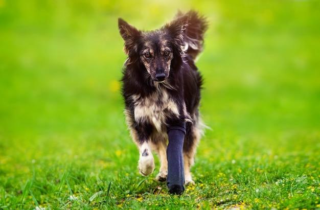 Собака со сломанной лапой в гипсе. лучший друг. зеленая трава. летнее время. Premium Фотографии