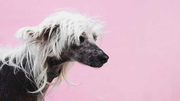 Dog with awesome haircut and copy space background Free Photo