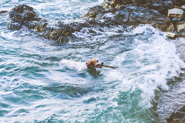Dog with a stick in his teeth swims in the sea Premium Photo