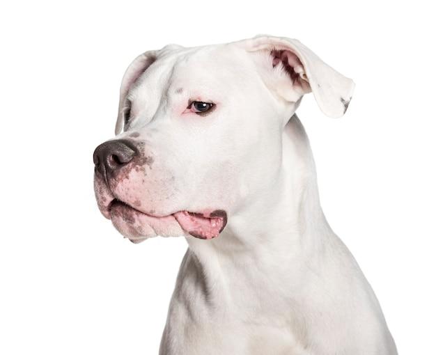 Rações para Dogo Argentino