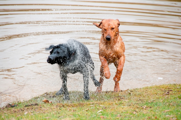 Dogs jumping out of a pond Premium Photo