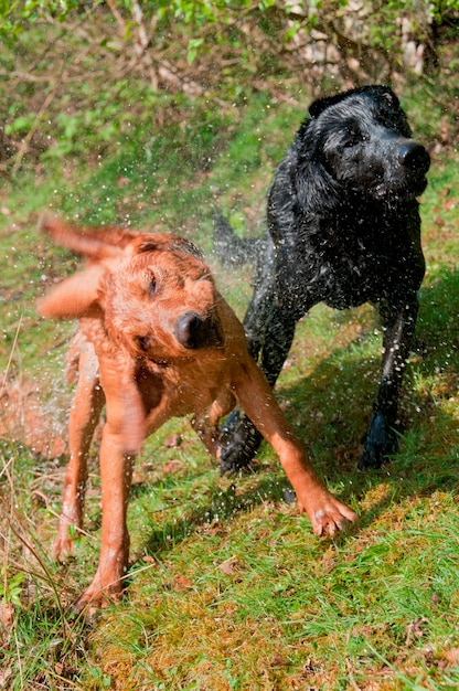 Dogs shaking water from their fur Premium Photo
