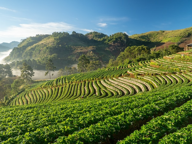 Doi ang khang landscape of strawberry garden with sunrise at doi ang khang ,chiang mai, thailand Premium Photo