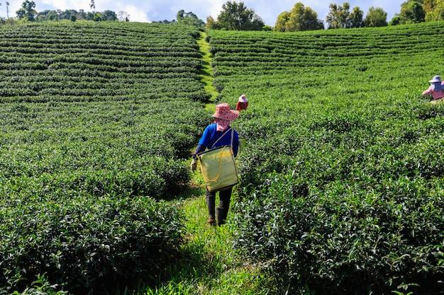 Doi chaing rai thailandの農業緑茶エリアと農家 Premium写真