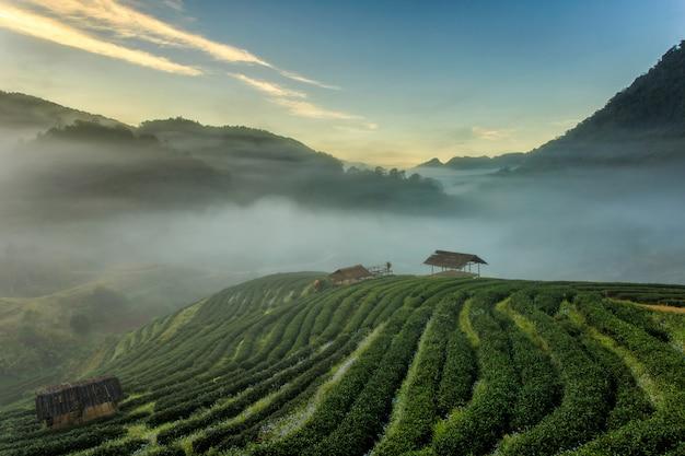 Чайная плантация красивый пейзаж знаменитый туристический аттракцион в doi в doi ang khang chiang mai Premium Фотографии