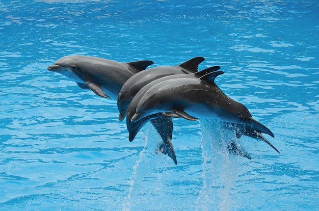 Dolphins playing in the pool Premium Photo