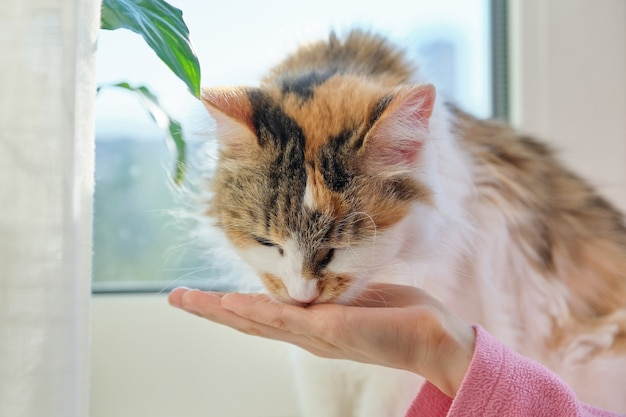 Domestic cat eats dry food from the hands of a hild girl Premium Photo