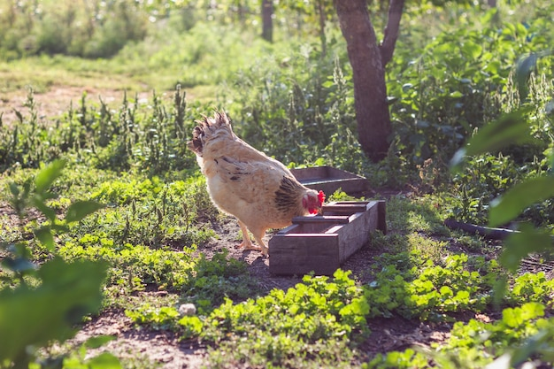 Domestic chicken eating grains Free Photo