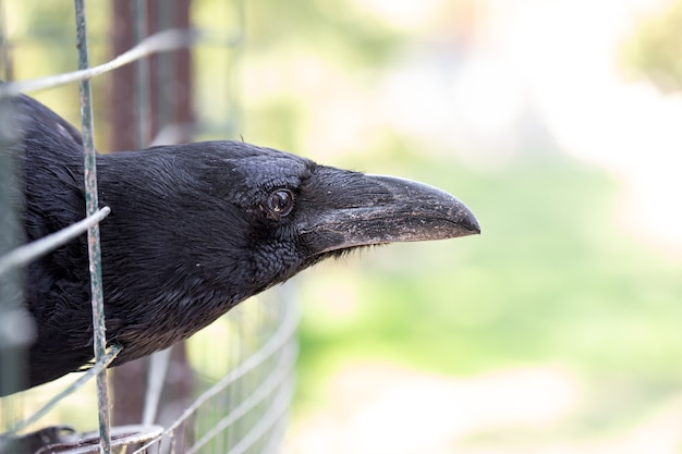 A domestic crow looks out of its cage. close up. macro mode. Free Photo