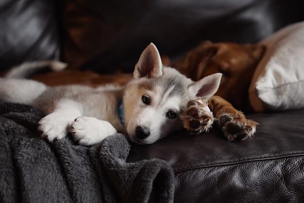 Домашний милый щенок чехословацкой хаски лежит со взрослым золотистым ретривером на диване Бесплатные Фотографии