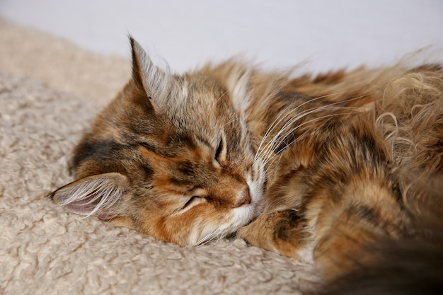 じゅうたんの上で眠る美しい色の飼い猫ふわふわ猫 無料写真