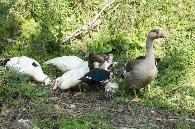 Domestic group of ducks searching food Free Photo