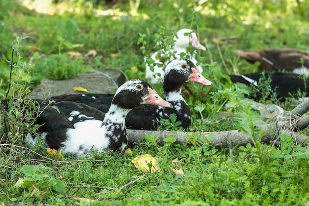 自然の中でアヒルの国内グループ 無料写真
