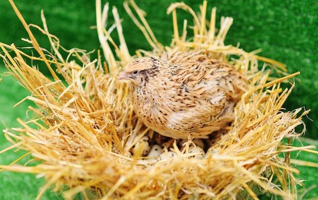 国内のウズラが巣に座ってウズラの卵を孵化 Premium写真