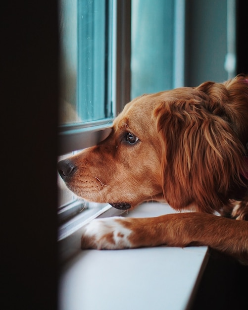Domesticated upset golden retriever looking out a window and missing his owner Free Photo
