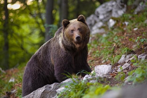 Доминирующий бурый медведь, ursus arctos стоя на утесе в лесе. Premium Фотографии