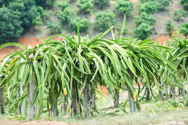 Фруктовое дерево дракона в ферме природы плодоовощ сада сада тропического лета на земледелии горы. плод дракона в таиланде Premium Фотографии