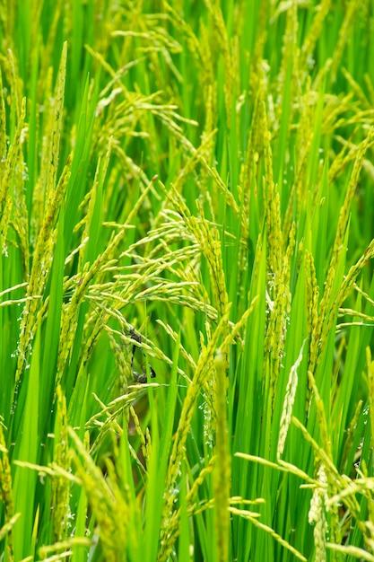 水田でのトンボの繁殖 Premium写真