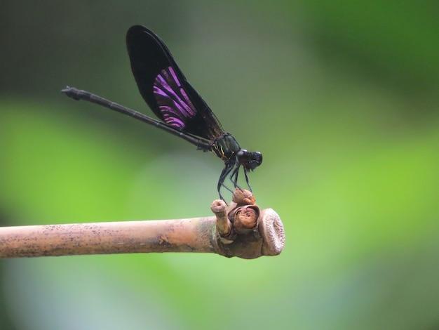 トンボ -  euphaea variegata  - 男性 Premium写真