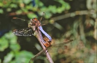 Dragonfly, fly Free Photo