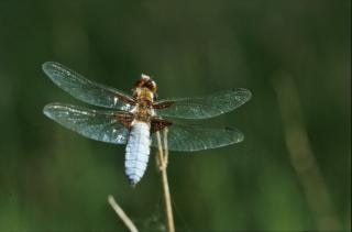 Dragonfly, green Free Photo