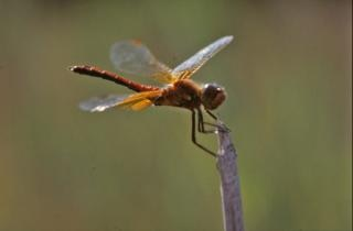 Dragonfly, orange Free Photo