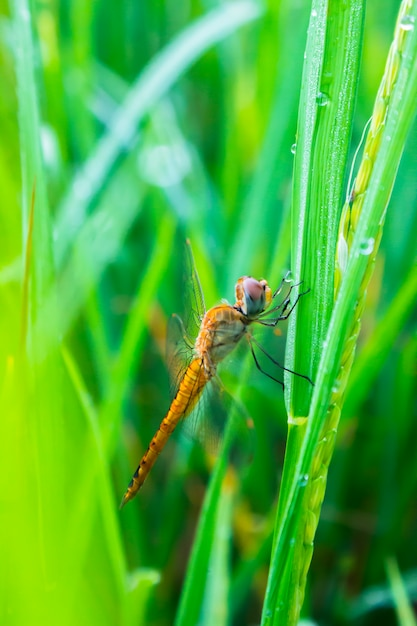 Dragonfly on rice field in the morning Premium Photo
