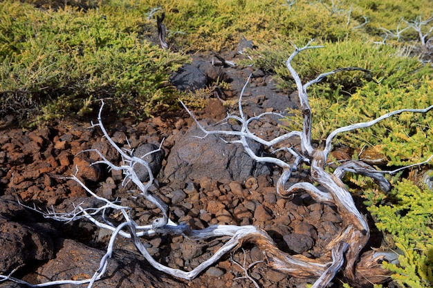 Dried branches in la palma caldera de taburiente Premium Photo