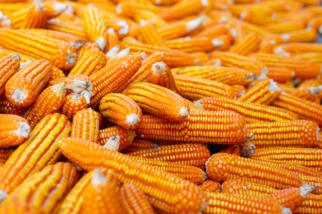 Dried corn background. Free Photo