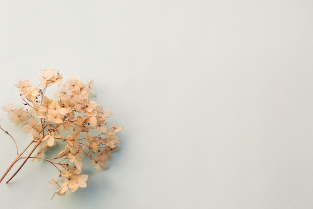 Dried flowers hydrangea on light blue background. copy space Premium Photo