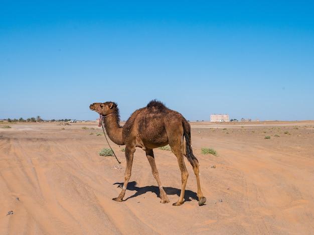 モロッコのサハラ砂漠を歩き回るヒトコブラクダ(アラビアのラクダ) 無料写真