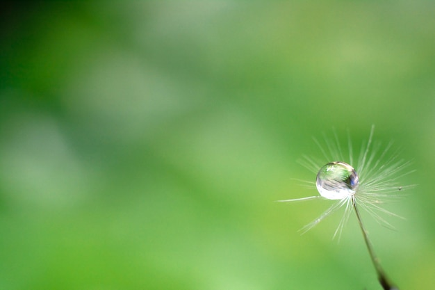 Drop of water on the seed of a dandelion flower Premium Photo