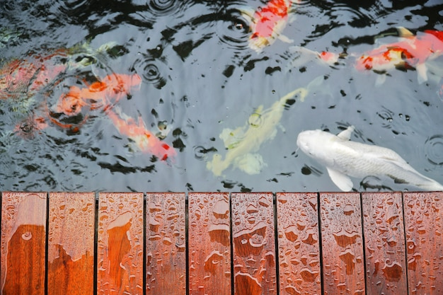 e4d18d16d8ba Droplet on wooden terrace with koi carp japanese fish underwater in ...