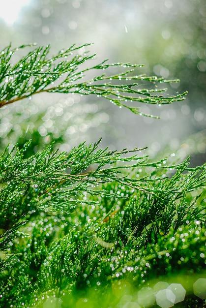 Drops of dew on juniper. green juniper branches in the summer sun. Premium Photo
