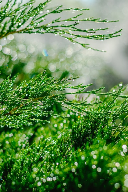 Drops of dew on juniper. green juniper branches in the summer sun. Premium Photo