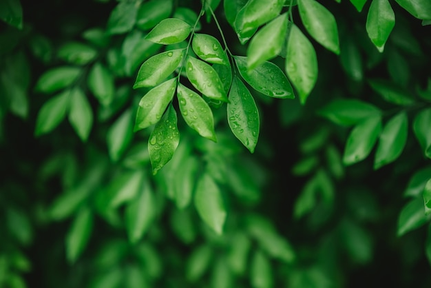 Drops of water on leaves after rain with green leaf on blurred greenery background. Premium Photo