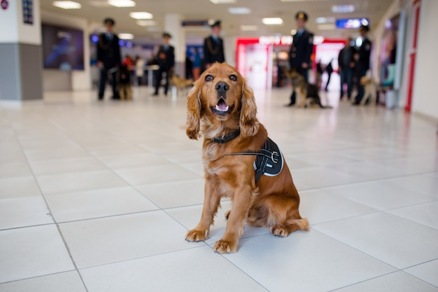Drug detection dog at the airport searching drugs in the luggages.horizontal view Premium Photo