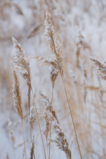 Dry coastal reed cowered with snow, vertical nature Premium Photo