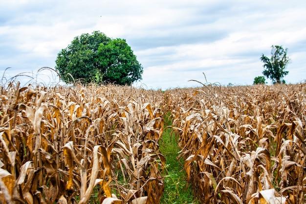 Dry corn  field and tree in autumn Premium Photo