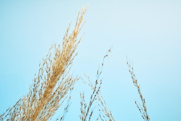 Тростник сухой, семена тростника. золотая трава тростника на солнце против голубого неба. минималистичный, стильный, модный концепт. Premium Фотографии