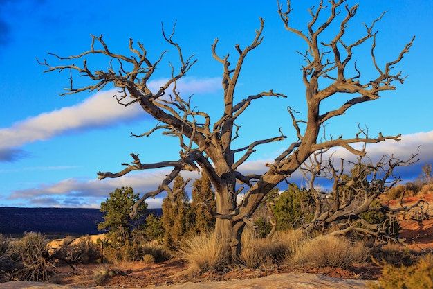 Dry tree in the wilderness of utah, Premium Photo