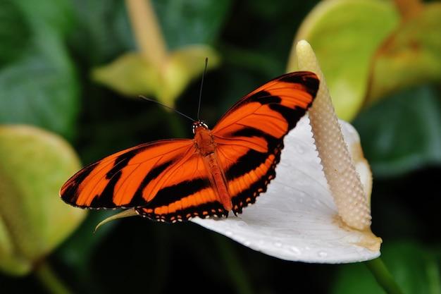 Farfalla di dryadula con le ali arancio e nere che riposano su un fiore della calla Foto Gratuite
