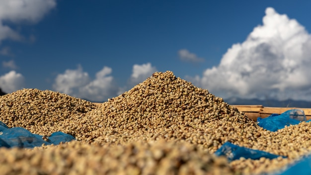 Drying raw coffee bean on the floor local family industry in thailand Premium Photo