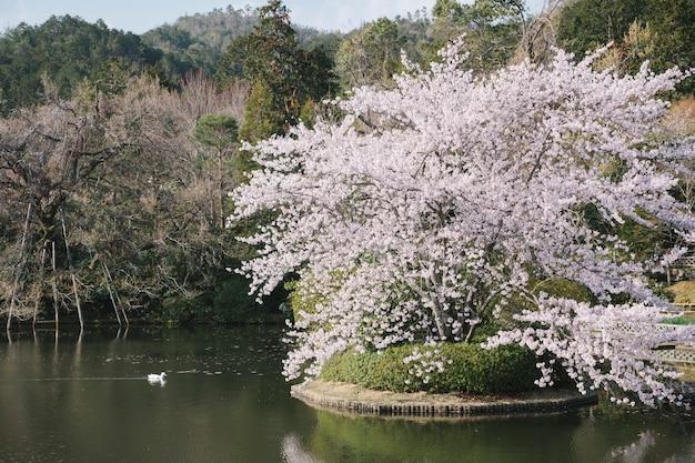 Duck and big sakura tree in pool Free Photo