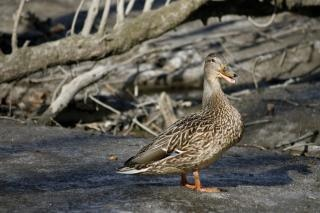 Duck  bird  quack Free Photo