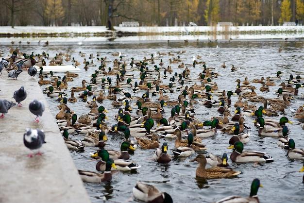 冬の湖でアヒルの鳥 Premium写真