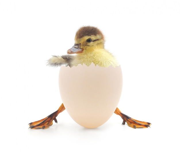 Duck coming out from its egg shell Premium Photo